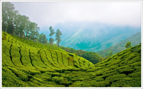 Kerala mountains and tea